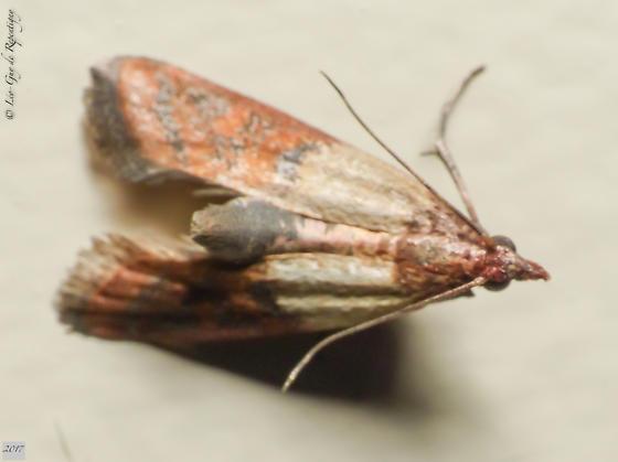 Lepidoptera. Pyralidae. Pyralis sp. - Plodia interpunctella