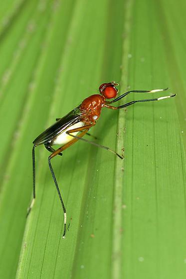 Red Stilt-Legged Fly - Grallipeza nebulosa - female