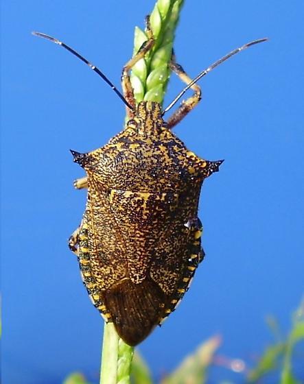 a predatory stink bug - Alcaeorrhynchus grandis