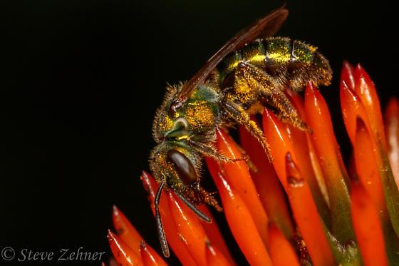 metallic bee - Augochlora pura - female