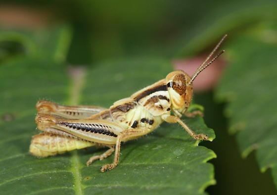 Melanoplus femurrubrum - male
