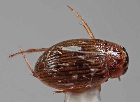 Hydrophilidae - Berosus exiguus