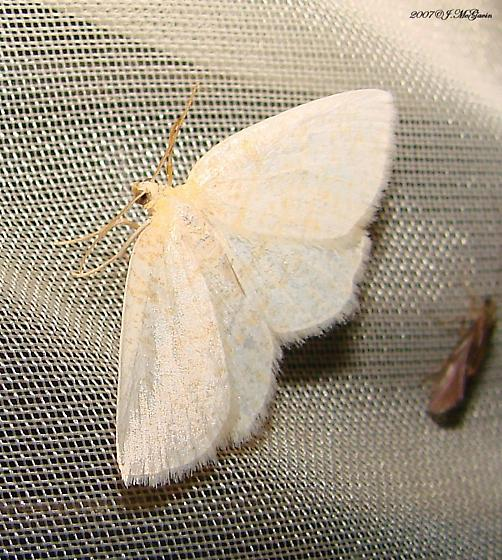 White Moth with faint markings - Cabera erythemaria