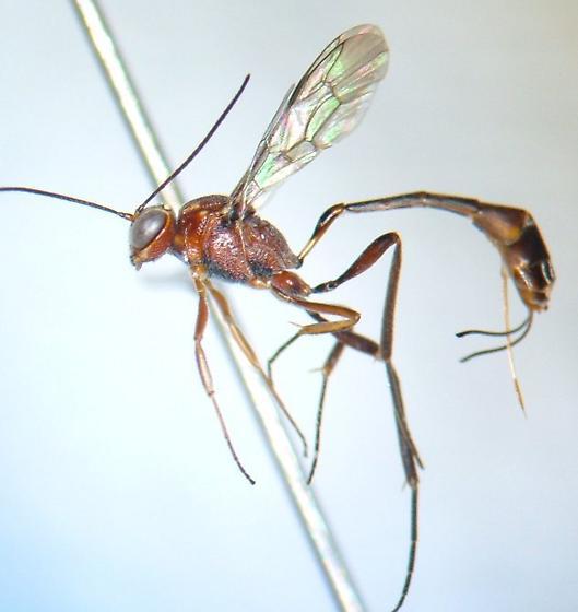 Ichneumonid 3 - Anomalon - female