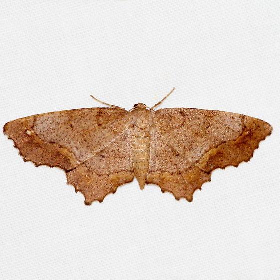 Esther Moth - Hypagyrtis esther - female