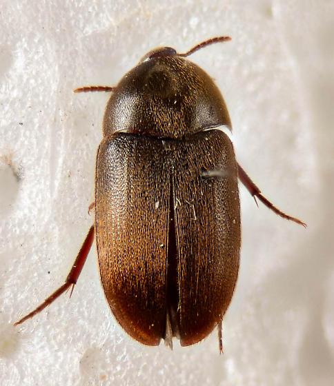 Tetratomidae? - Eustrophus tomentosus