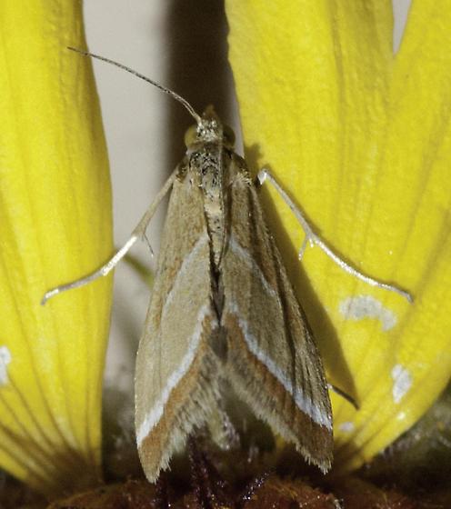 biodiversity! - Rhodocantha diagonalis