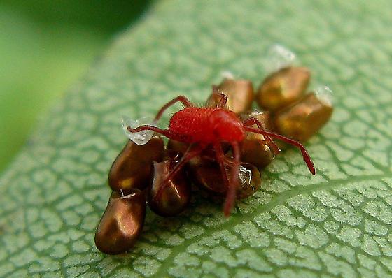red mite and eggs - Boisea trivittata