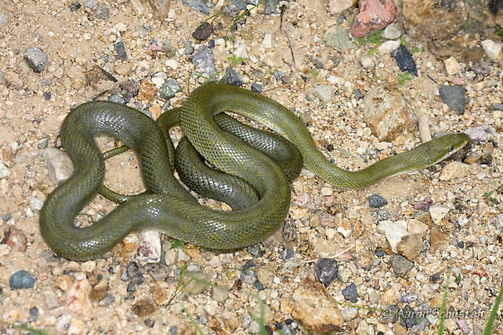 Alice's Green Rat Snake find