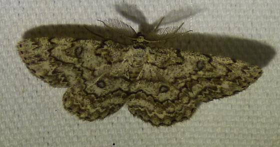 Hypomecis umbrosaria - Umber Moth - Hypomecis umbrosaria