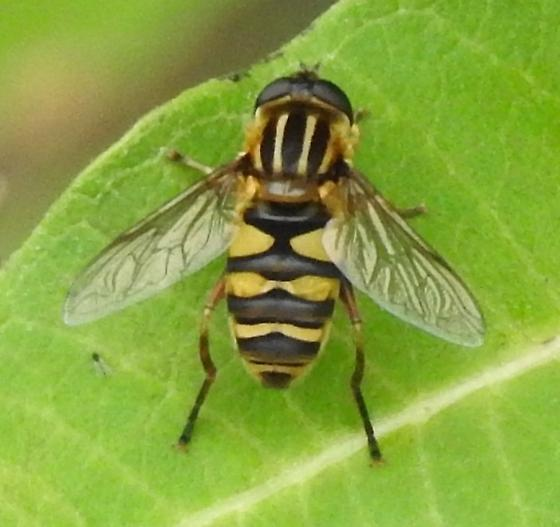 Syrphid Fly (Diptera)   ??? - Helophilus