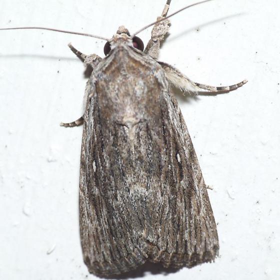 Catabena Moth? - Neogalea sunia