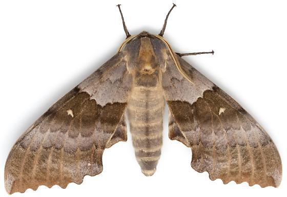 Western Poplar Sphinx? - Pachysphinx occidentalis