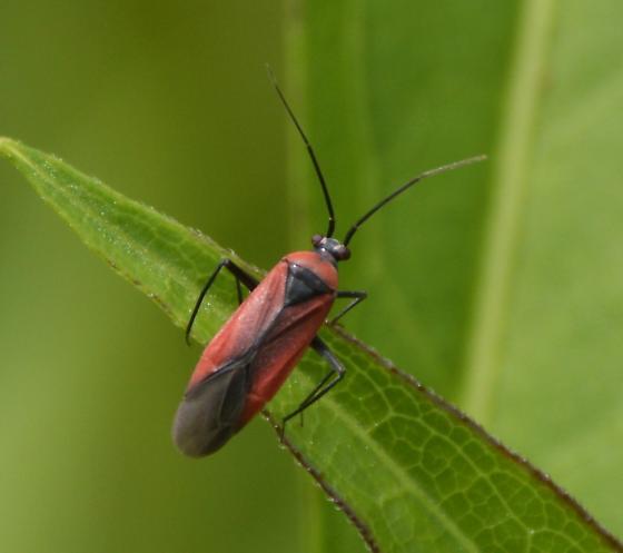 Bug 052316bsc4 - Lopidea