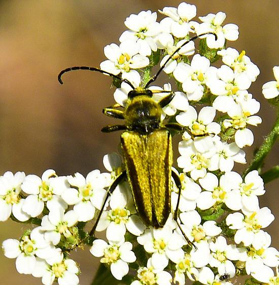 Beetle on yarrow - Lepturobosca chrysocoma