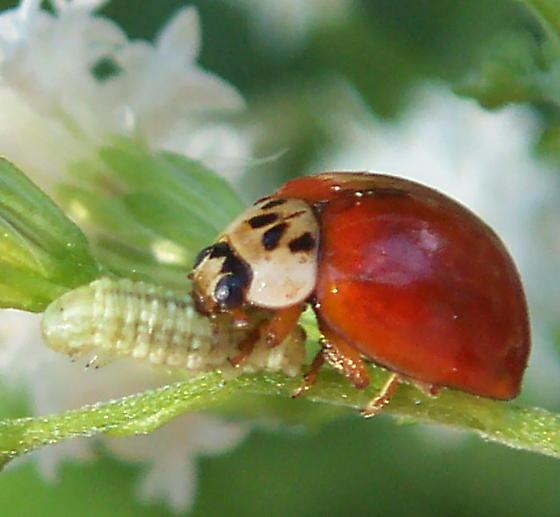 Multicolored Asian Ladybird and prey - Harmonia axyridis