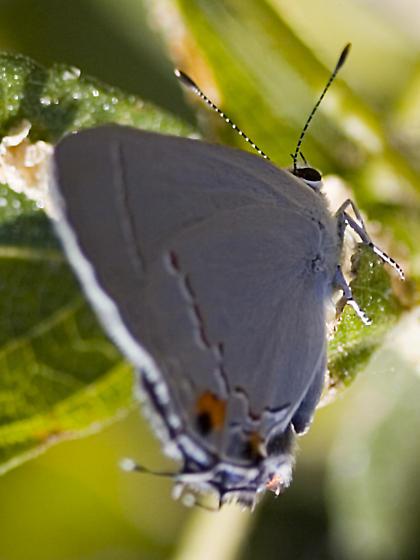 Gray Butterfly - Strymon melinus