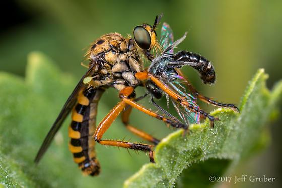 Asilid - Callinicus pictitarsis - male