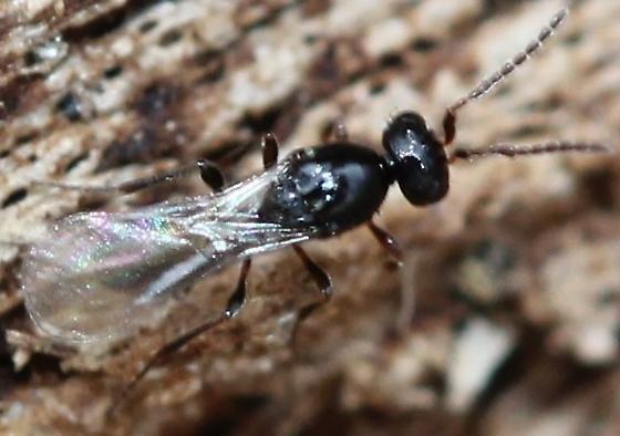 'Parasitica' - Platygaster
