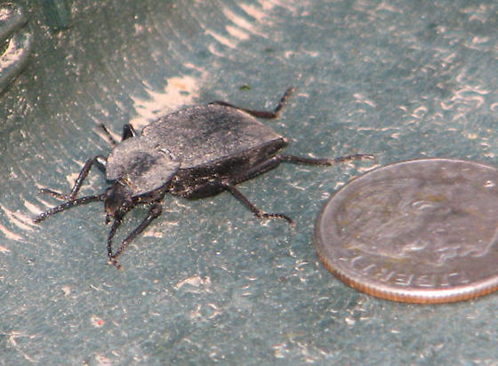 Beetle - Family Megalopodidae? - Embaphion