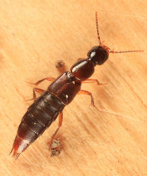 rove beetle - Erichsonius patella