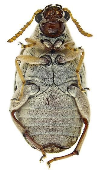 Male Algarobius prosopis? - Algarobius prosopis - male