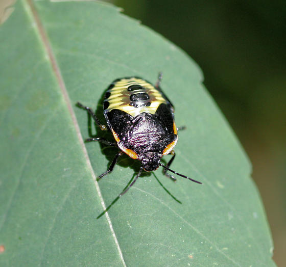 Black & yellow bug - Chinavia hilaris