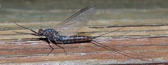 Mayfly sp. - Leptophlebia