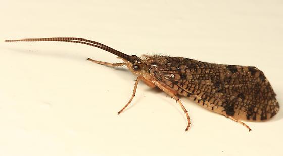 caddisfly - Banksiola crotchi
