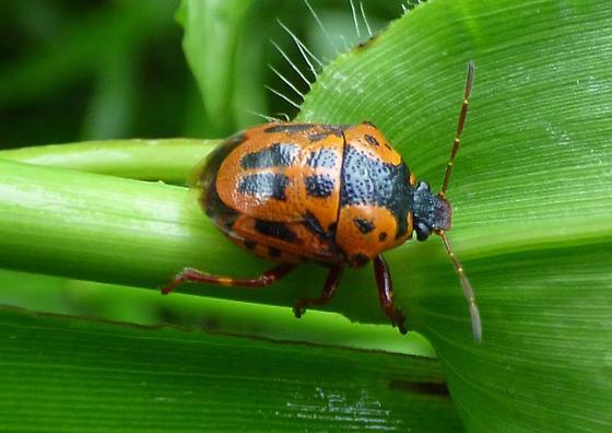 Harlequin like bug. ??? - Stiretrus anchorago
