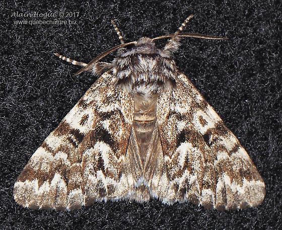 Moth - Panthea acronyctoides