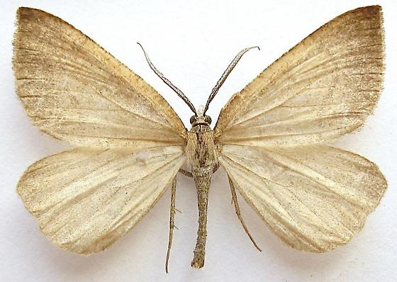 Immaculate Fawn Moth - Sericosema immaculata