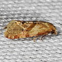 Unknown Micromoth - Platphalonidia magdalenae