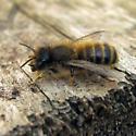 Hornfaced Bee - Osmia cornifrons