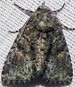 Phosphila miselioides  - Phosphila miselioides