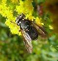 hornet mimic fly - Spilomyia fusca