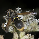Unknown wasp (bee mimic) - Pachodynerus nasidens - female