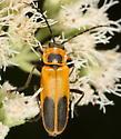 Soldier beetle on boneset flowers - Chauliognathus pensylvanicus