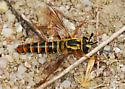 OC Mydas Fly - Pseudonomoneura hirta