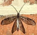 ?Fishfly - Neohermes
