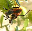 Assassin Bug pair - Rhynocoris ventralis