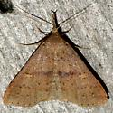 Renia sp.? - Renia salusalis - female