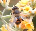 Imposter Fly - Eristalis tenax