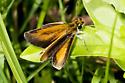 a little skipper I presume - Ancyloxypha numitor