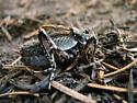 grig - Cyphoderris monstrosa - male