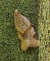 Micro Moth - Clepsis