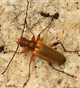 longhorn beetle - Cortodera cubitalis