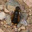 Roxborough bee fly 1 - Villa
