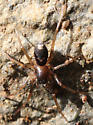 Which spider is this? - Falconina gracilis