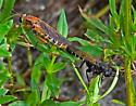 Possible Mydas Flies - Phyllomydas parvulus mating - Mydas maculiventris - male - female
